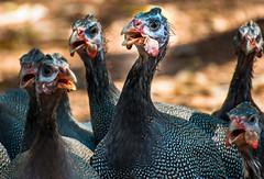 _DSC6322 (dhamments2013) Tags: bird darwin northernterritory wildturkeys roadie