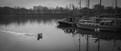 One In, One Out (gothick_matt) Tags: uk water bristol flying swan unitedkingdom flight places landing swans takeoff harbourside floatingharbour hotwells