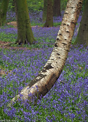 Trunk (peterphotographic) Tags: wood uk blue england flower tree london forest britain olympus trunk wansteadpark wanstead bluebell eastlondon microfourthirds peterhall em5mk2 p4220859edwm