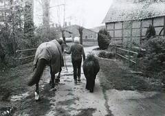 Auslauf (Turikan) Tags: horses dog nature stand mju farm grain olympus hund dev 400 ponies rodinal pferde unexpected bauernhof westfalen fomapan
