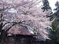 Cherry blossoms at Hirosaki Yasaka Shrine (gemapozo) Tags: japan cherry shrine pentax blossom jp aomori 桜 日本 sakura さくら hirosakicity 青森県 弘前市 smcpentaxdfa64555mmf28alifsdmaw 645z 弘前八坂神社 hirosakiyasakashrine
