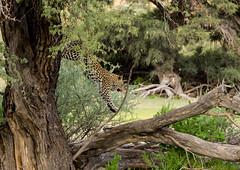 Jumping down (jaffles) Tags: park holiday nature southafrica outdoor wildlife natur olympus safari leopard predator kalahari ktp südafrika transfrontier raubkatze kgalagadi
