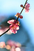 紅梅 (湯小米) Tags: flowers mountain plant flower canon outside blossom plum bluesky marco 花 植物 plumblossom wulinfarm plumflower 武陵農場 梅花 微距 高山 花卉 紅梅 ef1635mmf28l redplum 戶外 1dx marcolens 微距鏡 ef100mmf28marco 梅花樹