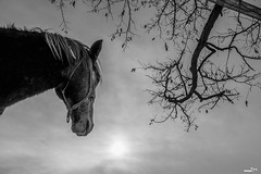 konj G3