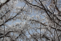 IMG_1667 (Gregory Lundeen) Tags: trees snow elpaso mulberry clearskies