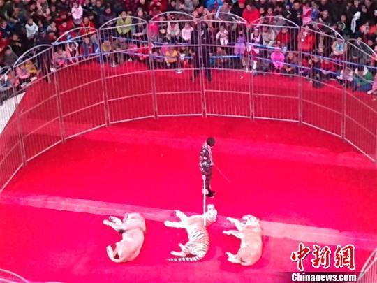 新疆一商场老虎狮子上演马戏表演 观众爆满围观