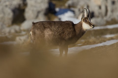 Chvre solitaire (yoyophotos38) Tags: chartreuse chamois isre femelle rhnealpes