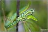 Ahaetulla nasuta (Thor Hakonsen) Tags: thailand reptile snake greenvinesnake snok prachinburi ahaetullanasuta