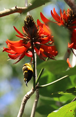 Olive-backed Sunbird (4) copy (sixdos) Tags: nature birds fauna canon australia queensland biodiversity sunbird tropicalnorthqueensland farnorthqueensland olivebackedsunbird menacreek nectariniajugularis paronellapark yellowbelliedsunbird australiannativefauna canoneos7dmarkii