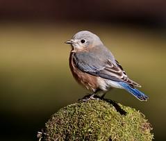 Eastern Bluebird (Mary Sonis) Tags: creek carrboro bluebird bolin