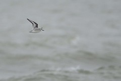 _HNS6660 Drieteenstrandloper : Becasseau sanderling : Calidris alba : Sanderling : Sanderling