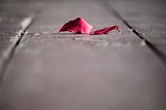 Autumn Dance floor (mpardo.photo) Tags: autumn red leaves stcatharines montebellopark cc0