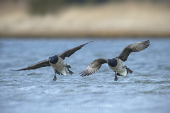 Coming in Hot! (santosh_shanmuga) Tags: ocean new wild bird nature animal outdoors flying duck newjersey nikon outdoor wildlife birding flight nj aves goose lbi longbeachisland jersey waterfowl 500mm barnegat brant beachhaven d3s