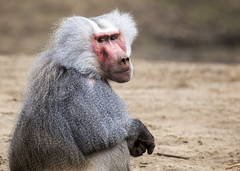 Hamadryas baboon (Hans van der Boom) Tags: netherlands animal nederland baboon nl primate safaripark beeksebergen noordbrabant hamadryas hilvarenbeek perpetualwinner hilarenbeek