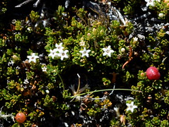Pentachondra pumila (dracophylla) Tags: tasmania ericaceae plantae centralplateau ericales taxonomy:family=ericaceae taxonomy:kingdom=plantae taxonomy:order=ericales pentachondra pentachondrapumila carpetfrillyheath frillyheath taxonomy:genus=pentachondra taxonomy:binomial=pentachondrapumila thompsonsrivulet
