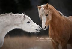 Fluffy Winter Ponies (Hestefotograf.com) Tags: winter horses horse snow love oslo norway caballo bokeh pony camouflage cavalos ponies forever pferde dappled cavalo pferd whitehorse equine equus paard horseandgirl equinephotography equinephotographer hestefotograf