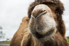 Bactrian camel (Fight The Light) Tags: photography camel safaripark westmidlandssafaripark bactriancamel wmsp camelusbactrianus birminghamphotographer solihullphotographer fightthelight