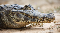 Cayman (Luke Sergent) Tags: wild brazil portrait detail green eye nature leather animal danger america tooth mouth dangerous amazon close head reptile jaw wildlife alligator crocodile tropical hunter cayman aquatic predator caiman pantanal snout carnivore reptilian crocodilus