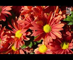Flores nacionales (Juan de la Cruz Moreno Balboa) Tags: naturaleza flores plantas huerta beda