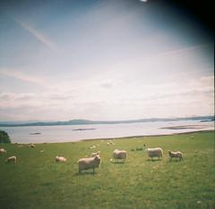 (thismaudlincareer) Tags: sea summer green nature river scotland countryside lomo lomography sheep fife country lofi forth firthofforth kodakultramax400 dianamini