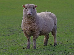 1217-24L (Lozarithm) Tags: sheep studley calne k50 55300 pentaxzoom hdpda55300mmf458edwr