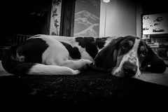 Sleepy puppy (davidjhumphries) Tags: portrait blackandwhite dog cute monochrome canon puppy mutt nap sleep hound cost droopy sleepy floppy tired basset snooze 5d pup stretched bassethound 1740mm floppyears 2016 lseries 1740f4 0116 5d2 5dmkii 250116