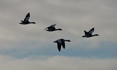 Shellduck (Peanut1371) Tags: sky clouds flying duck flight shellduck nationalgeographicwildlife