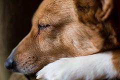Maggie (Jeff Buchbinder) Tags: dog dogs animal animals corgi pembrokewelshcorgi maggie manual nikkor manualfocus vintagelens 55mmf12 nikkor55mmf12 canon5dmk3