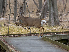 Maumee Bay State Park  4c (Becker1999) Tags: statepark ohio wild nature crossing deer trail boardwalk leaping 2016 maumeebay maumeebaystatepark