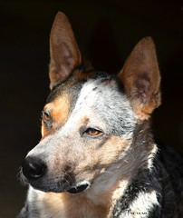 A portrait of loyalty (bankst) Tags: portrait pets nikon mansbestfriend blueheeler d5100