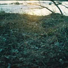 Will Change_1_ 014 (Kahori YAGI_Kahoring) Tags: light sunset shadow plants sunlight 120 film nature grass zeiss square fuji riverside jena medium pentacon p6 pentaconsix arax fujicolor czj carlzeissjena biometar pro400