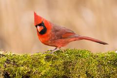 Cardinal -4263 (RG Rutkay) Tags: winter male bird nature animal cardinal outdoor northern lyndeshoresconservationarea