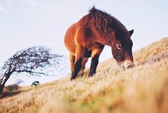 White Cliffs (Nicola Abraham) Tags: uk england horse film nature analog 35mm kent nikonf100 whitecliffs dover