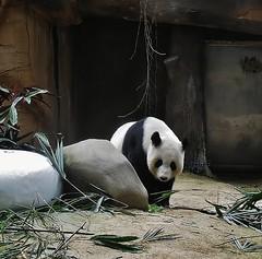 star of the zoo (SM Tham) Tags: bear plants animal rocks panda bamboo malaysia nationalzoo kualalumpur enclosure zoonegara liangliang