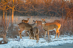 CornFed (jmishefske) Tags: park county nature wisconsin franklin corn nikon wildlife center doe deer milwaukee illegal february baiting whitetail wehr 2016 cwd whitnall halescorners d800e
