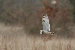 Short Eared Owl (PINNACLE PHOTO) Tags: light evening flying inflight silent hunting 7d owl billard birdofprey shorty bop voles shortearedowl raptorasioflammeus