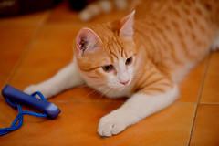 Gato Jinks  (27) x (adopcionesfelinasvalencia) Tags: gato jinks