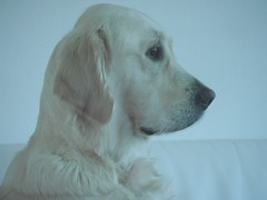 SnoW. (Warmoezenier) Tags: portrait white snow blanco golden nieve hond perro retreiver wit