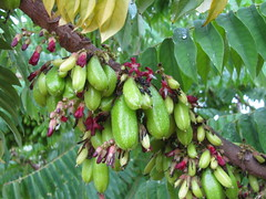 starr-130221-1600-Averrhoa_bilimbi-fruit_and_flowers-Waihee-Maui (Starr Environmental) Tags: averrhoabilimbi