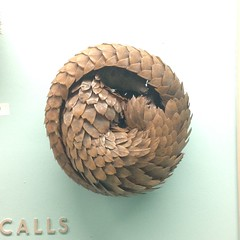 Peeping Pangolin (Inkysloth) Tags: animal museum mammal taxidermy coil armour pangolin scaled hornimanmuseum