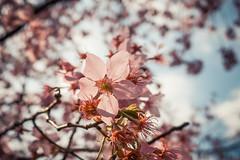 20160306-R0011938 (Kay's...) Tags: cherryblossom sakura   wuling wulingfarm