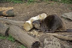 American beaver (Castor canadensis) _DSC0315 (ikerekes81) Tags: animal mammal zoo washingtondc smithsonian dc washington nikon beaver national american nationalzoo castor castorcanadensis canadensis nikond3200 dczoo smithsoniannationalzoologicalpark smithsoniannationalzoo d3200 washingtondczoo zoosmithsonian 18105mm americanbeaver americantrail