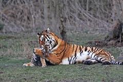 Tigre de Sibrie (jeanot94) Tags: flin fauve tigredesibrie tigredelamour parcdesflins tigreblanc tigredesumatra tigron tigredubengale