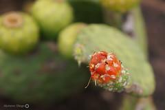 Xique-xique (Cactaceae) (alcesterdiego) Tags: brasil flora bahia pedra xiquexique redonda caatinga semirido caetit