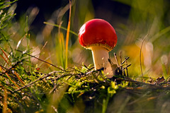 Little Redhead II (parkerbernd) Tags: autumn light eye fall nature mushroom forest germany lumix fly moss fantastic woods view floor little kick bokeh magic redhead panasonic explore toadstool worms brandenburg agaric poisonous pilz fliegenpilz psychodelic gx1