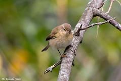 Lu piccolo _005 (Rolando CRINITI) Tags: bird natura uccelli uccello arenzano ornitologia lupiccolo