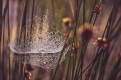 Chandeliers (jenni 101) Tags: pretty dof bokeh chandeliers grasses delicate spiderwebs webs natures enchanting nikond7200