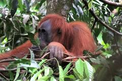 Orang-utan in a tree (Greedje) Tags: sumatra indonesia orangutan gunung sumatran pongo bukit lawang leuser abelii