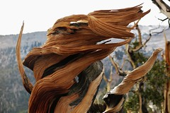 Transcendence (Bregalis) Tags: great basin national park nevada bristlecone pine pinus longaeva ancient explore landscape snake range divide spirituality tree trees usa wild wilderness nature natural weathered wood trail wind ice snow elevation cffaa oldest living