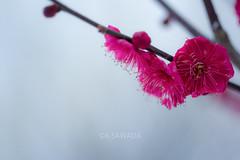 (kenta_sawada6469) Tags: park flowers trees winter red plants white plant flower macro tree nature japan japanese ume japaneseapricot